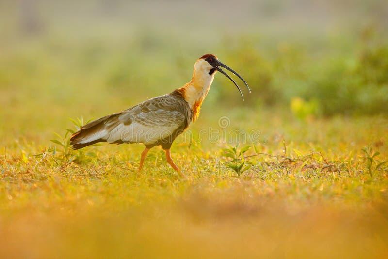 Fantast-hånglad ibis, Theristicus caudatus, exotisk fågel i naturlivsmiljön, fågelsammanträde i gräs med härligt aftonsolljus, royaltyfri fotografi
