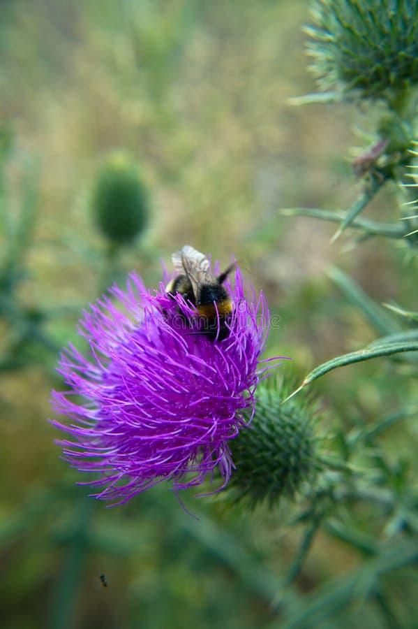 Fantast-tailed humla på blomman för spjuttistel arkivbilder