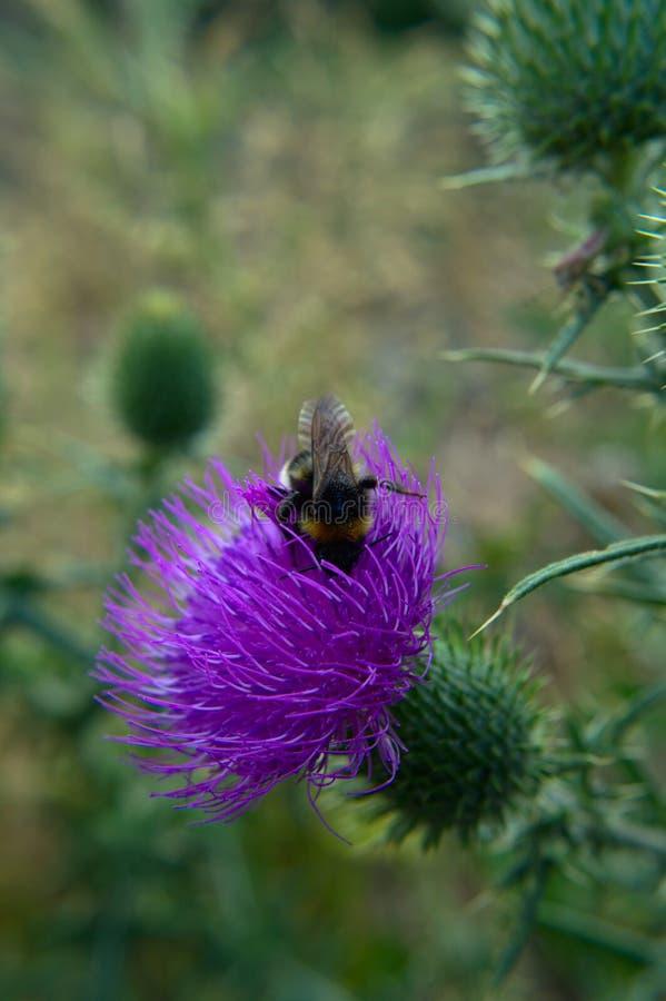Fantast-tailed humla på blomman för spjuttistel arkivfoton