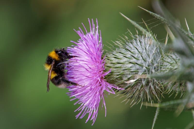 Fantast-tailed humlaBombusterrestris som samlar pollen från arkivfoton