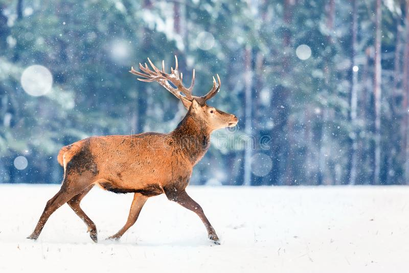 Fantastic artistic winter christmas wildlife image. Deer running in snow against winter forest. Wildlife Christmas winter seasonal stock photo
