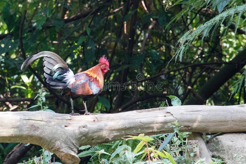 Fantastic beast and where to find them - Gallus gallus/Red junglefowl. Gallus gallus Red junglefowl was first domesticated at least five thousand years ago in stock photos