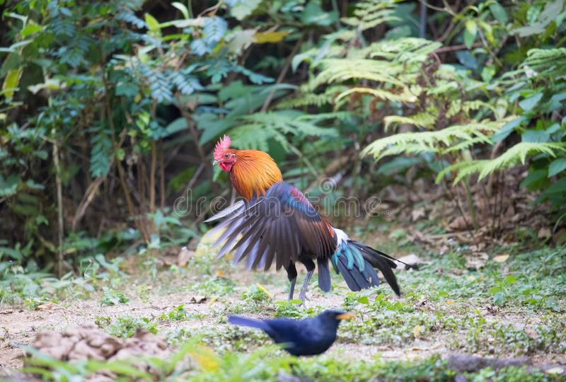 Fantastic beast and where to find them - Gallus gallus/Red junglefowl. Gallus gallus Red junglefowl was first domesticated at least five thousand years ago in royalty free stock images