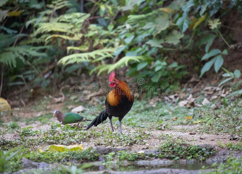 Fantastic beast and where to find them - Gallus gallus/Red junglefowl. Gallus gallus Red junglefowl was first domesticated at least five thousand years ago in royalty free stock image