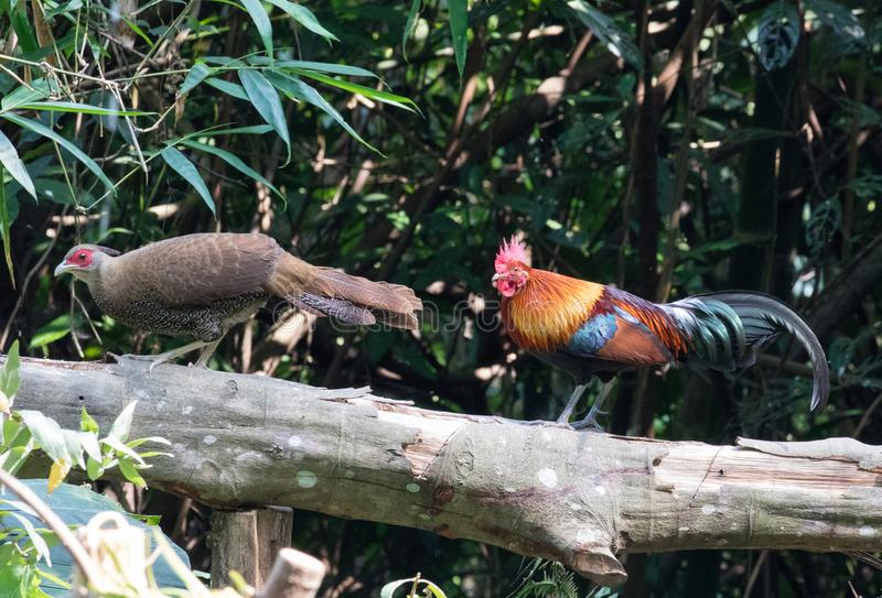 Fantastic beast and where to find them - Gallus gallus/Red junglefowl. Gallus gallus Red junglefowl was first domesticated at least five thousand years ago in stock photography
