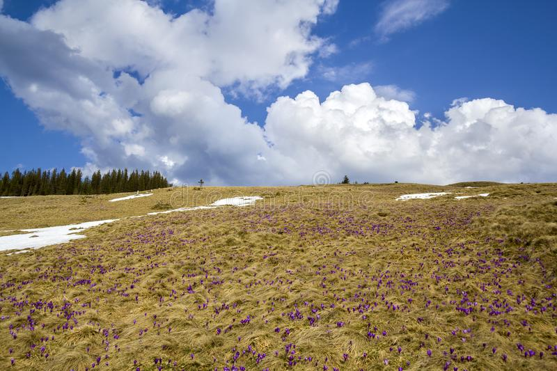 Fantastic colorful spring landscape in Carpathian mountains with fields of beautifully blooming violet crocuses, patches of snow a stock photos
