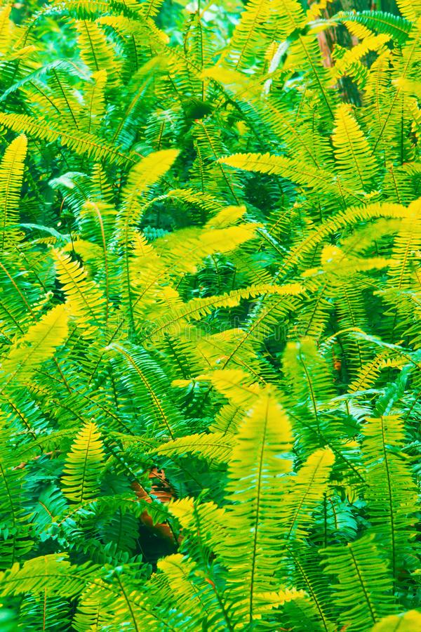 Fantastic colors of fern leaves. In tropical garden, abstract shade green and yellow of fern leaves. Full frame. Long exposure royalty free stock image