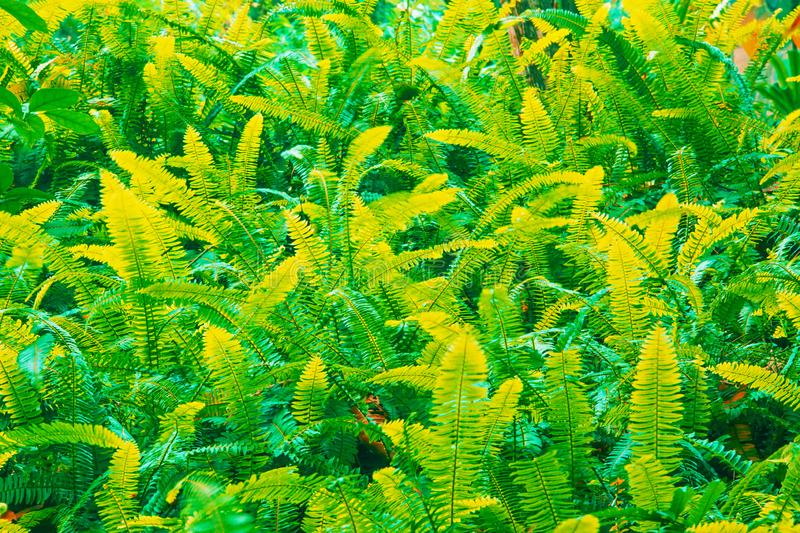 Fantastic colors of fern leaves. In tropical garden, abstract shade green and yellow of fern leaves. Full frame. Long exposure royalty free stock photography