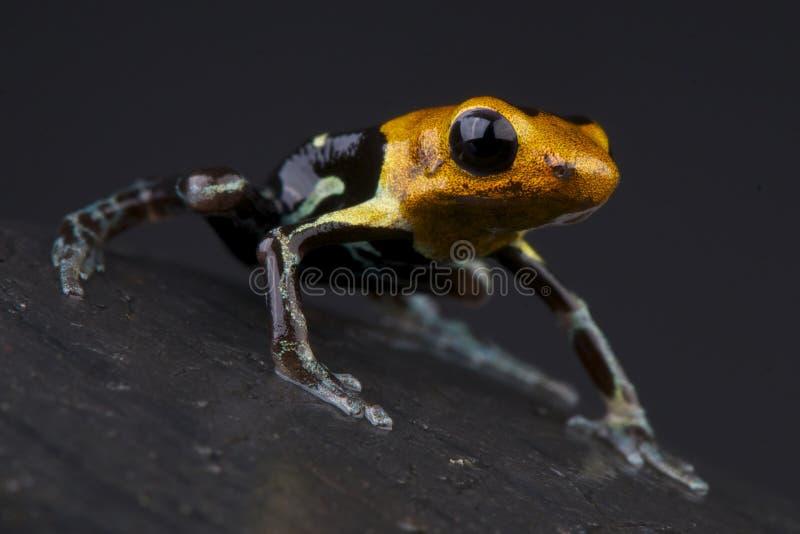Fantastic dart frog stock image