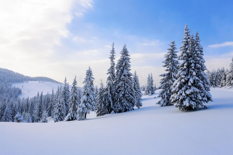 Fantastic fluffy Christmas trees in the snow. Postcard with tall trees, blue sky and snowdrift. Winter scenery in the sunny day. stock photography