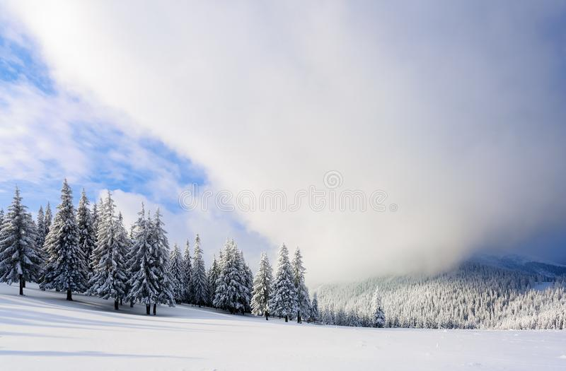 Fantastic fluffy Christmas trees in the snow. Postcard with tall trees, blue sky and snowdrift. Winter scenery in the sunny day. royalty free stock photography