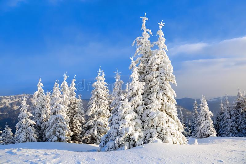 Fantastic fluffy Christmas trees in the snow. Postcard with tall trees, blue sky and snowdrift. Winter scenery in the sunny day. royalty free stock image
