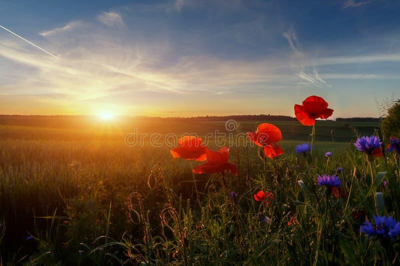 Fantastic landscape at summer sunset. Red and blue flowers under sunlight during sunset. Wonderful Sunny Scene. Amazing Nature. Background. Poppy flowers royalty free stock photo