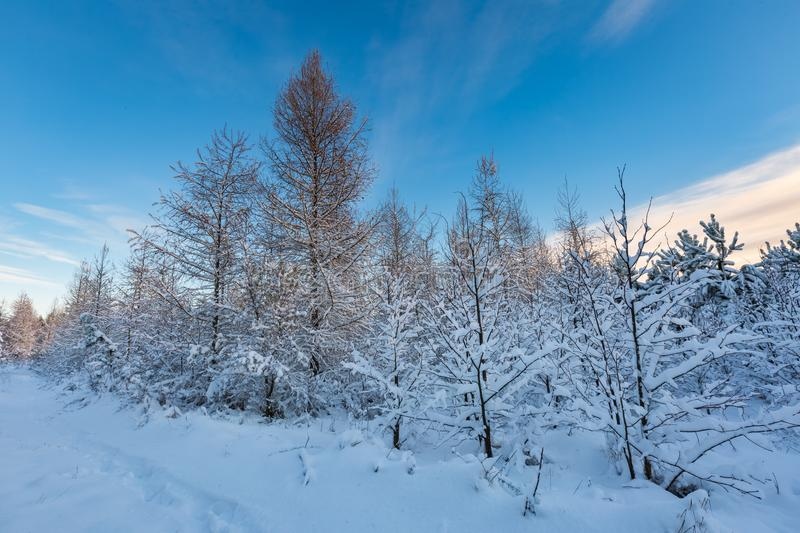 Fantastic morning winter landscape. Natural snow covered trees in countryside under blue sky royalty free stock photography