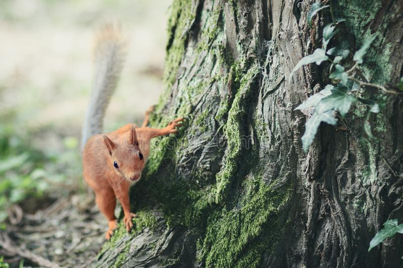 Fantastic picture with a little fluffy red squirrel jumping on a tree stock photos