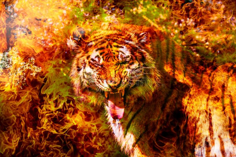 Fantastic portrait of a Bengal Siberian tiger on fire. Fire tiger of Chinese calendar. Postcard of the traditional Chinese New Ye. Ar, Year of fiery red tiger stock photos