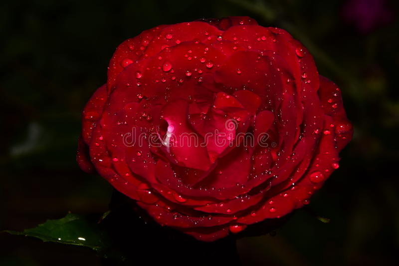 A fantastic red rose afte a rainy summer day stock photo