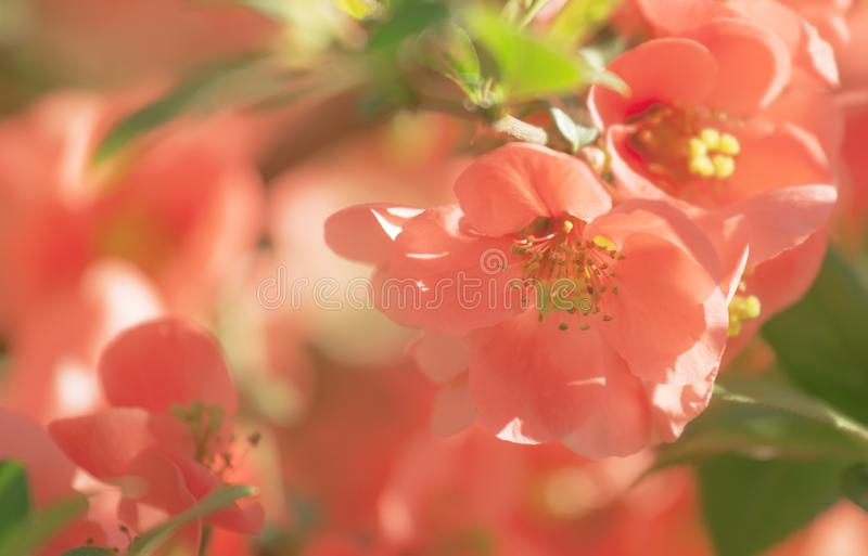Fantastic spring or summer natural pink background with blooming Japanese quince, place for text, blurred image, soft focus royalty free stock photos
