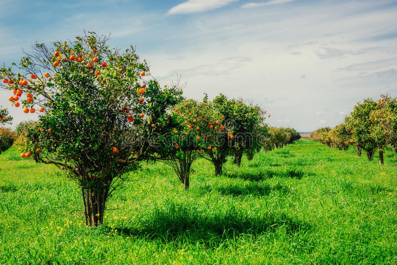Fantastic views of the beautiful tree species in Italy. Sicily.  stock photo