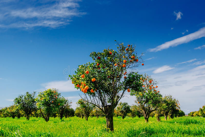 Fantastic views of the beautiful tree species in Italy. Sicily.  royalty free stock photography