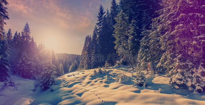 Fantastic winter forest landscape in the sunset. Icy snowy fir trees glowin in sunlight. winter holiday concept. travel stock photography
