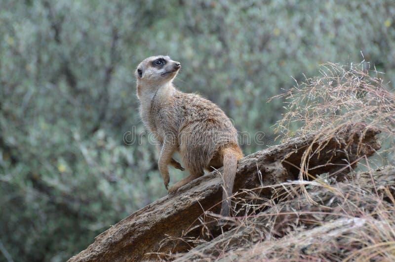 Fantastisch bekijk in een Meerkat in de Wildernis royalty-vrije stock afbeelding