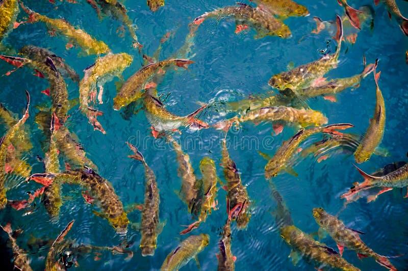 Fantastische Karpfenfische stockfotos