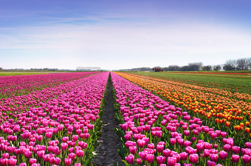 Fantastische Landschaft mit Reihen von Tulpen auf einem Gebiet in Holland stockfotos
