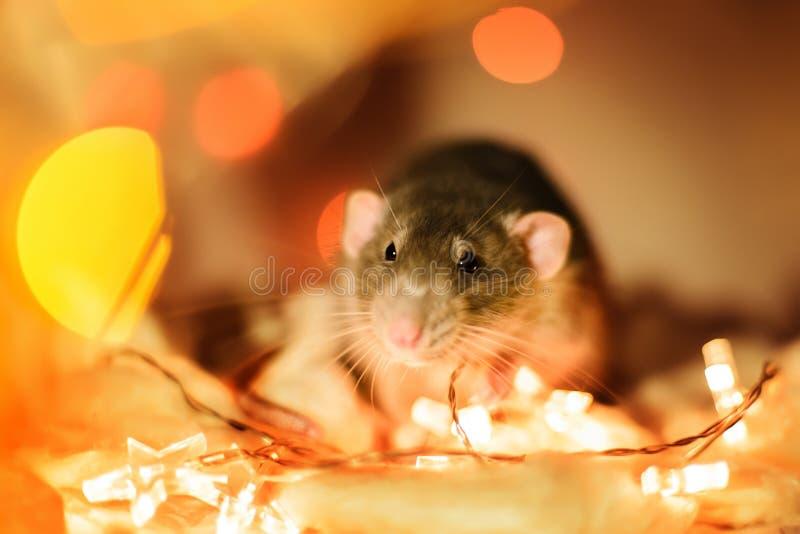 Fantastische Ratte, die in den Weihnachtsgirlanden-Lichtdekorationen sitzt lizenzfreie stockbilder
