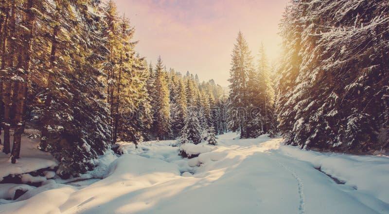 Fantastische Winterwaldlandschaft im Sonnenuntergang Eisiges schneebedecktes Tannenb?ume glowin im Sonnenlicht Winterurlaubkonzep stockfotografie