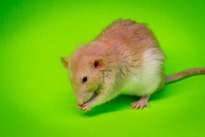 Fantastisches Haustier-Ratten-Essen stockfotografie