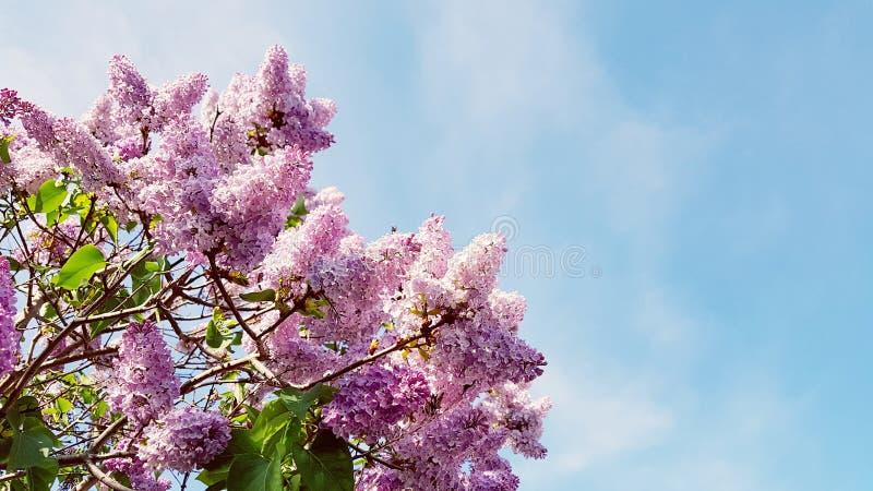 fantastisches leichtes Rosa blüht schönen Sommerhintergrund lizenzfreie stockfotografie