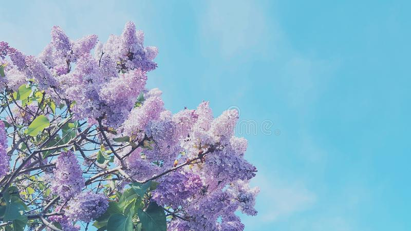fantastisches leichtes Rosa blüht schönen Sommerhintergrund lizenzfreie stockbilder