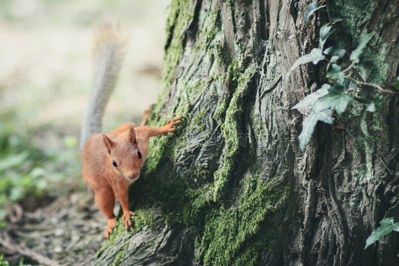 Fantastisk bild med lite den fluffiga röda ekorren som hoppar på ett träd arkivfoton