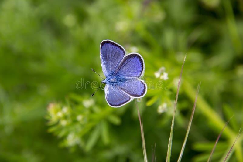 Fantastisk blå fjäril arkivbilder
