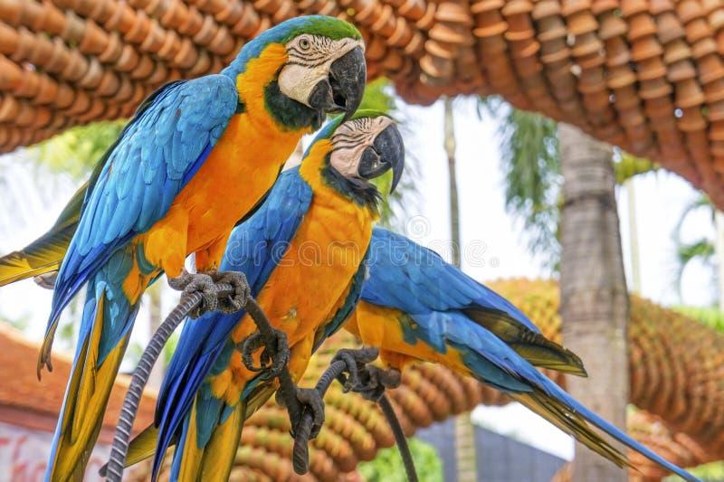 Fantastisk blått- och gulingara (Arara papegojor) royaltyfri bild