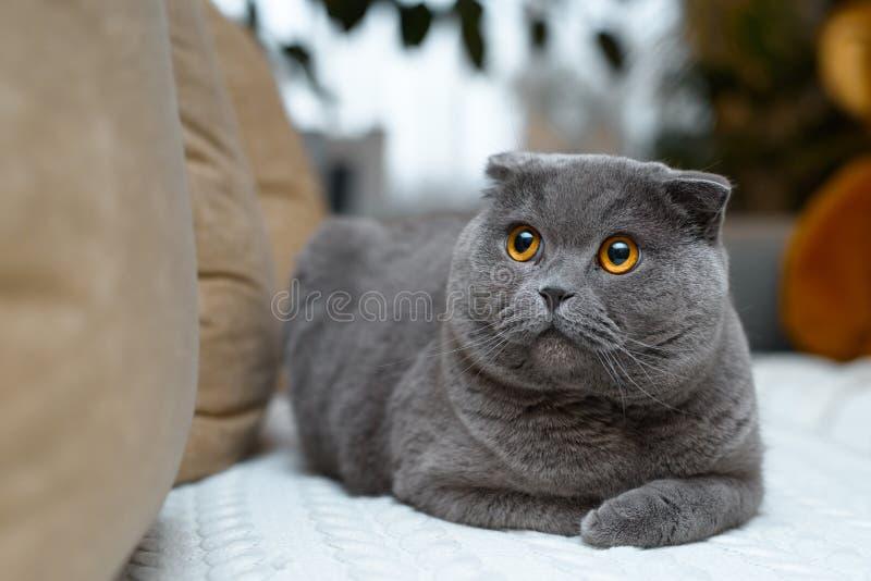 Fantastisk brittisk katt med guld- ögon Sitter på soffan i huset fotografering för bildbyråer