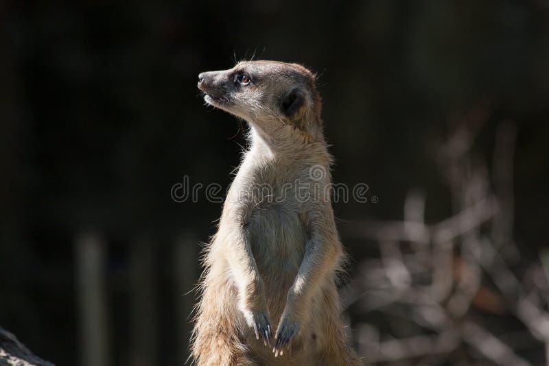 Fantastisk djur Meerkat stående royaltyfri fotografi