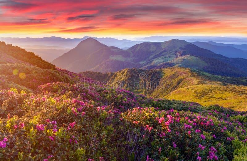 Fantastisk färgrik soluppgång i berg med kulöra moln och rosa rhododendron blommar på förgrund Dramatisk färgrik platsintelligens arkivfoto