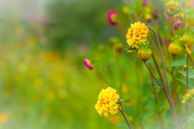 Fantastisk härlig bokehbakgrund med den ljusa guling- och liladahlian blommar En färgrik blom- naturhälsning eller royaltyfria foton
