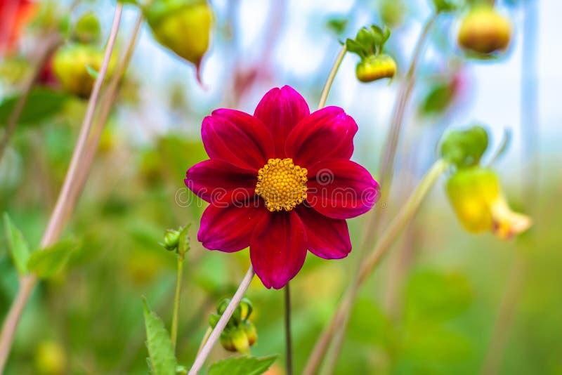 Fantastisk härlig bokehbakgrund med den ljusa purpurfärgade dahlian blommar En färgrik blom- trädgård arkivbild