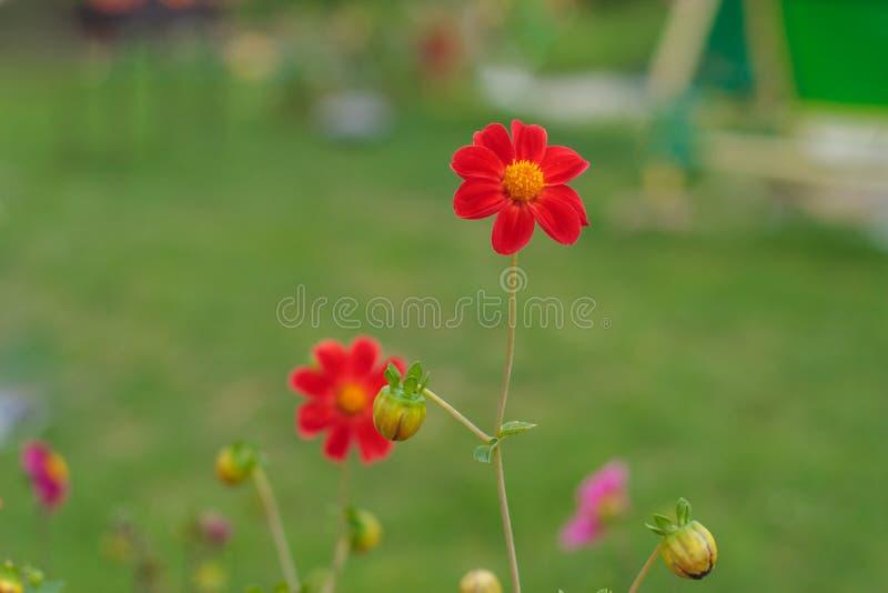 Fantastisk härlig bokehbakgrund med den ljusa röd eller rosa färg- eller koralldahlian blommar En färgrik blom- naturträdgård arkivfoto