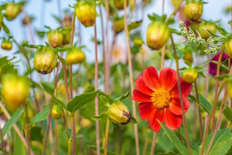 Fantastisk härlig bokehbakgrund med den ljusa röd eller rosa färg- eller koralldahlian blommar En färgrik blom- naturträdgård royaltyfri foto