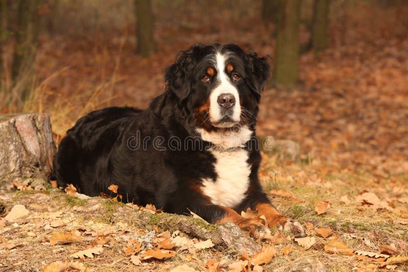 Fantastisk hund för bernese berg som ligger i höstskog arkivfoton