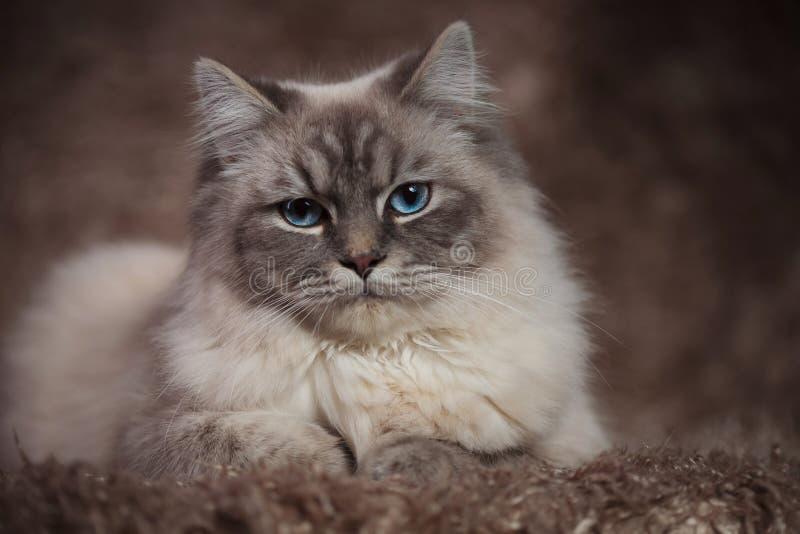 Fantastisk katt med blåa ögon som ligger på en päls- bakgrund arkivfoto