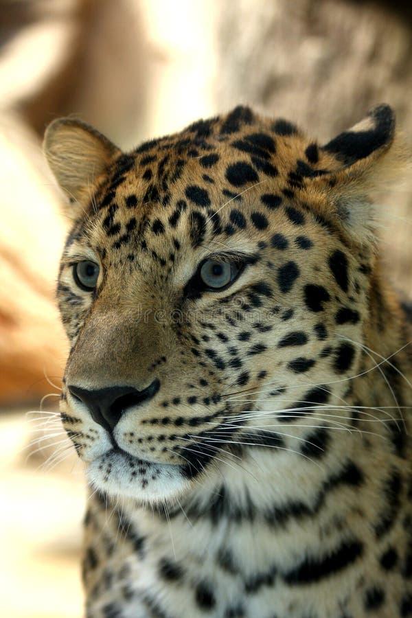 fantastisk leopard royaltyfri foto