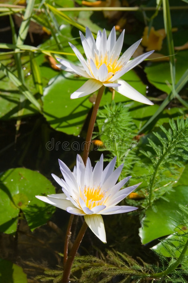 fantastisk lotusblomma fotografering för bildbyråer