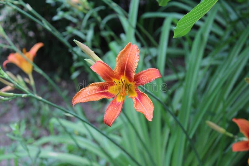 Fantastisk orange lilja som blomstras i fältet arkivfoto