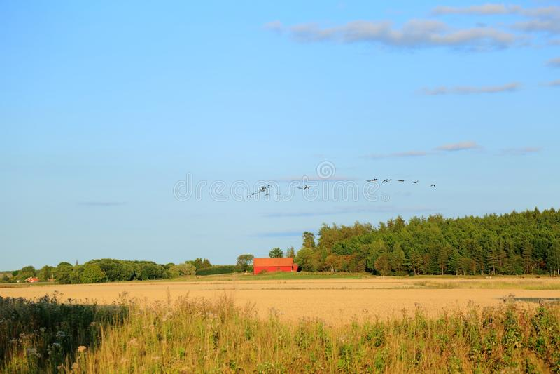 Fantastisk sikt av flocken av fåglar på den blåa himlen royaltyfria bilder