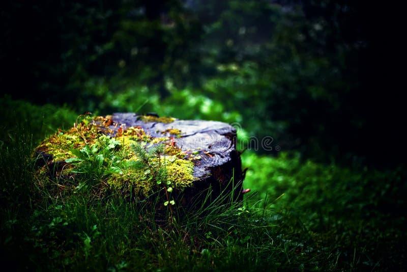 Fantastisk stubbe i den förtrollade skogen fotografering för bildbyråer